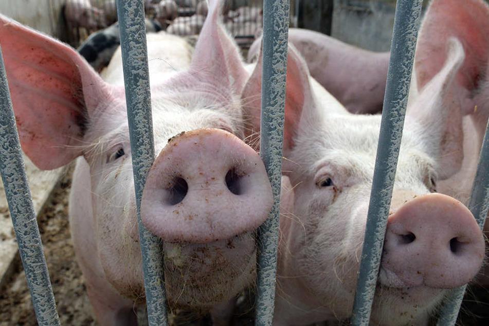 Bei einem Blitzeinschlag in Marienmüster wurden 1000 Schweine getötet.