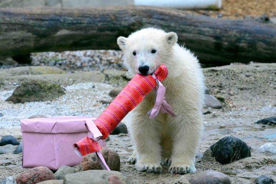 Im Berliner Tierpark könnten auch die Eisbären bald Nachwuchs erwarten