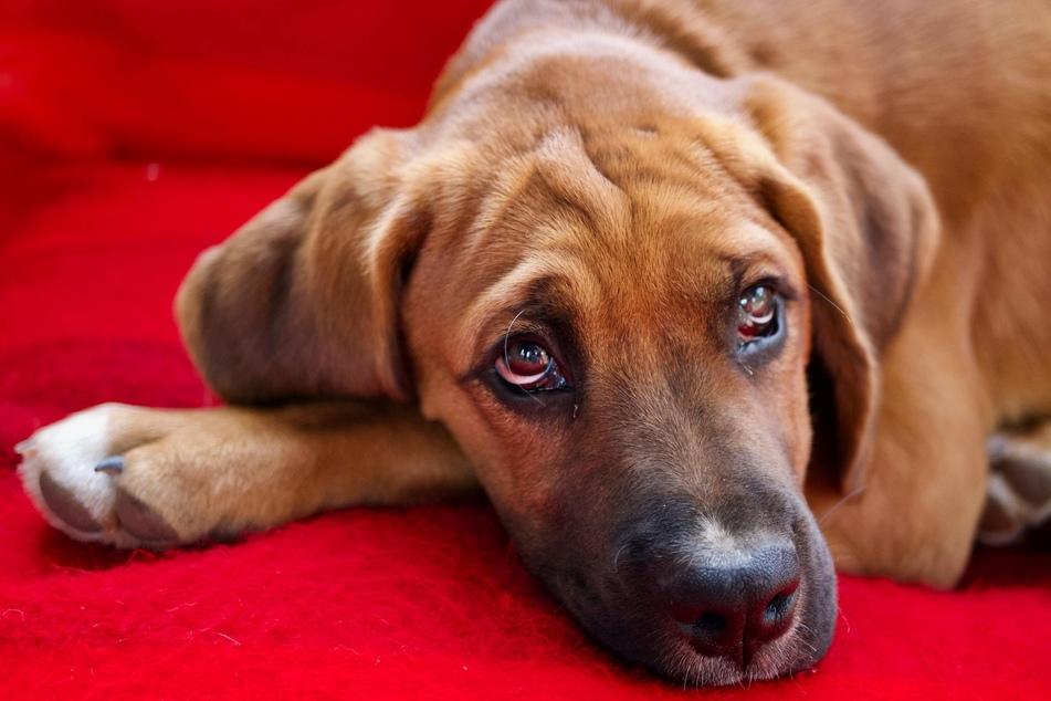 TWenn Hunde sich klein machen und sich vermehrt über die Nase lecken, ist das als eindeutiges Beschwichtigungssignal zu werten.