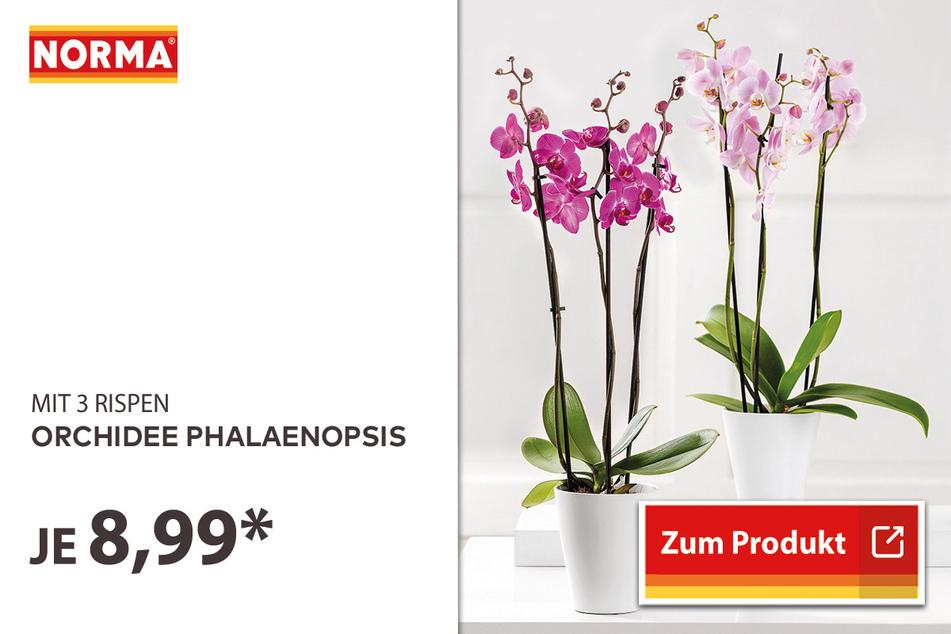 Orchidee Phalaenopsis für 8,99 Euro