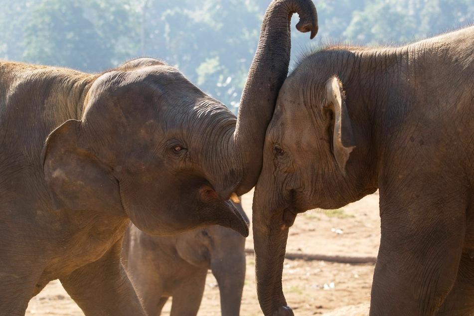 Ein asiatisches Elefanten-Paar. Die Tiere können mit ihren Lippen quietschen.