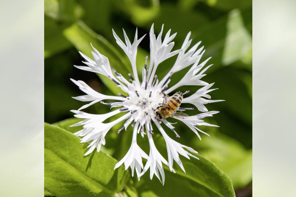 Die zarte Blüte einer weißen Glockenblume hat diese Biene magisch angezogen.