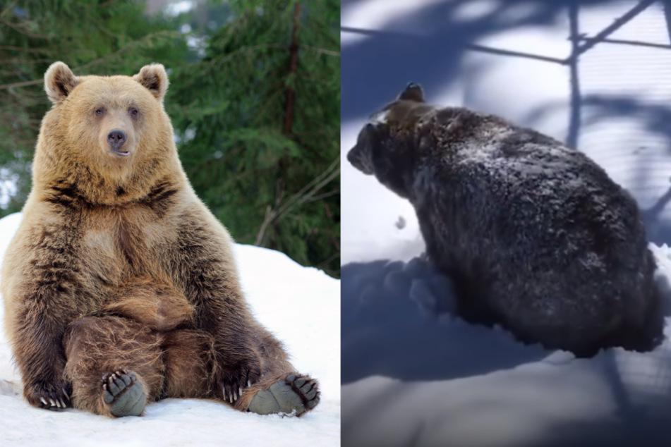 Grizzlybär erwacht aus dem Winterschlaf: Video geht durch die Decke