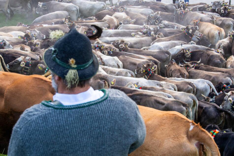Geheimsache Viehscheid: Alpsommer endet ohne Touristenspektakel