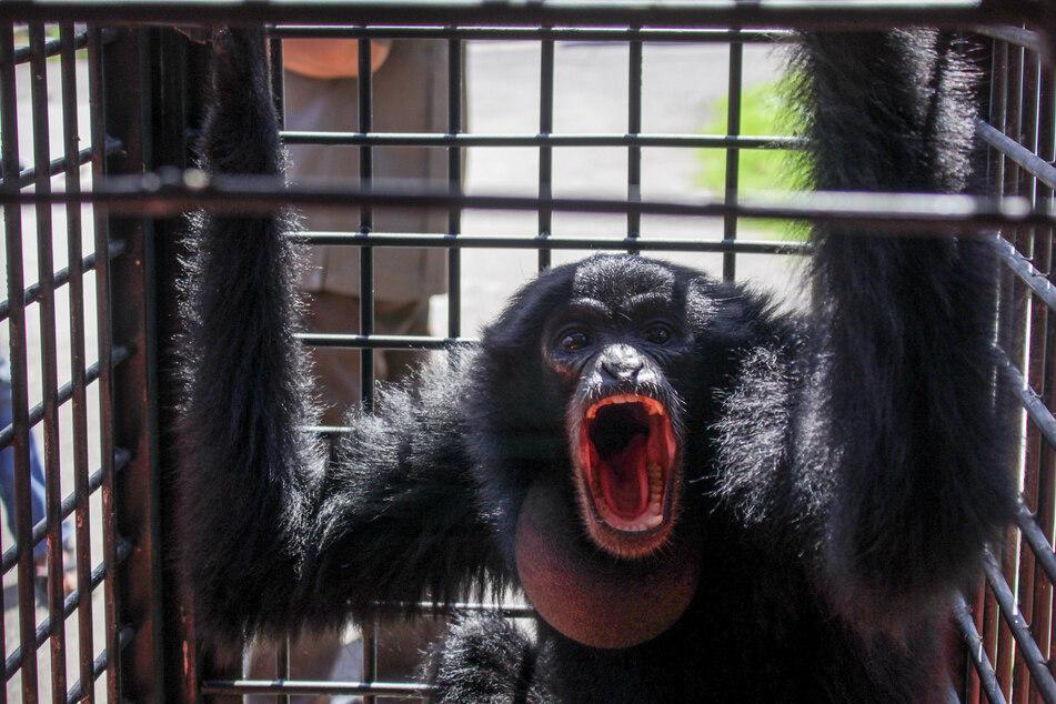 Ein wilder Affe soll immer wieder in das Köpfchen und vor allem in den Bauch eines Kleinkindes gebissen haben. (Symbolbild)