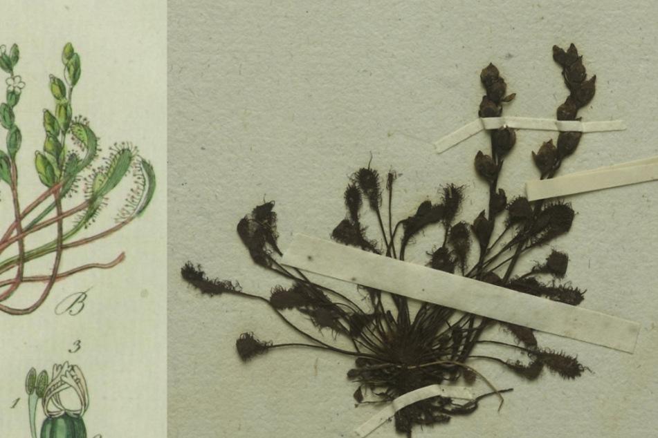 München: Fleischfressende Pflanze: Ausgestorbenes Exemplar in München entdeckt