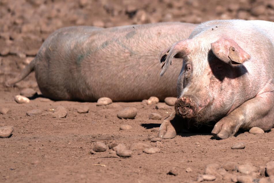 Schweinestau auf der Insel: Großbritanniens verzweifelte Suche nach Metzgern