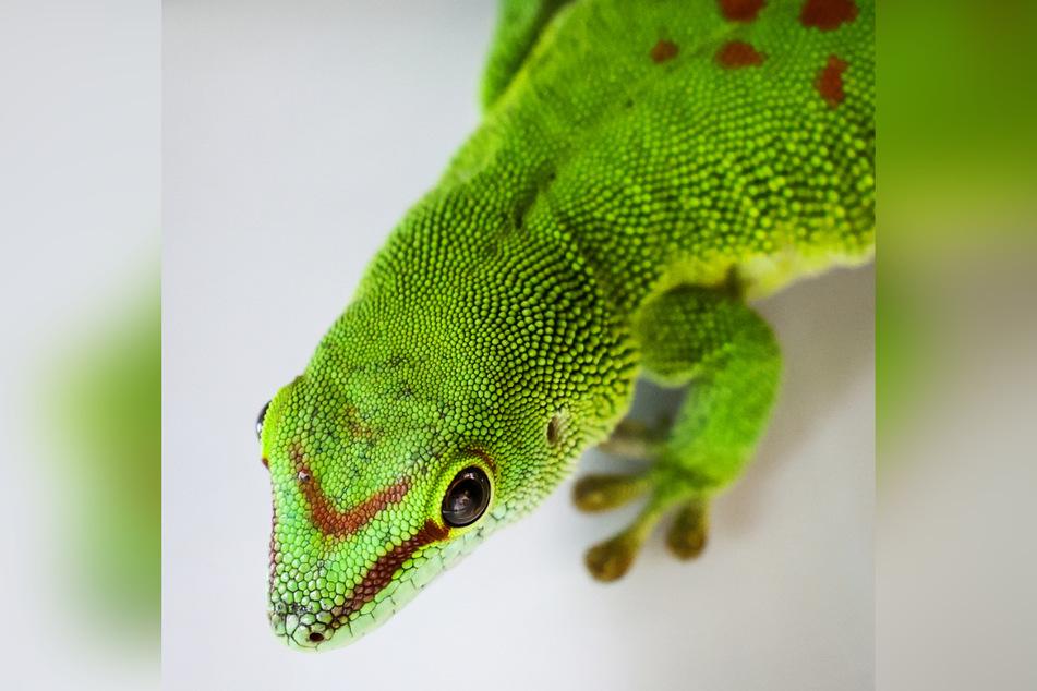 Ein Madagaskar-Taggecko in einem Terrarium im Hamburger Tierheim. Weltweit gibt es etwa 700 verschiedene Gecko-Arten.