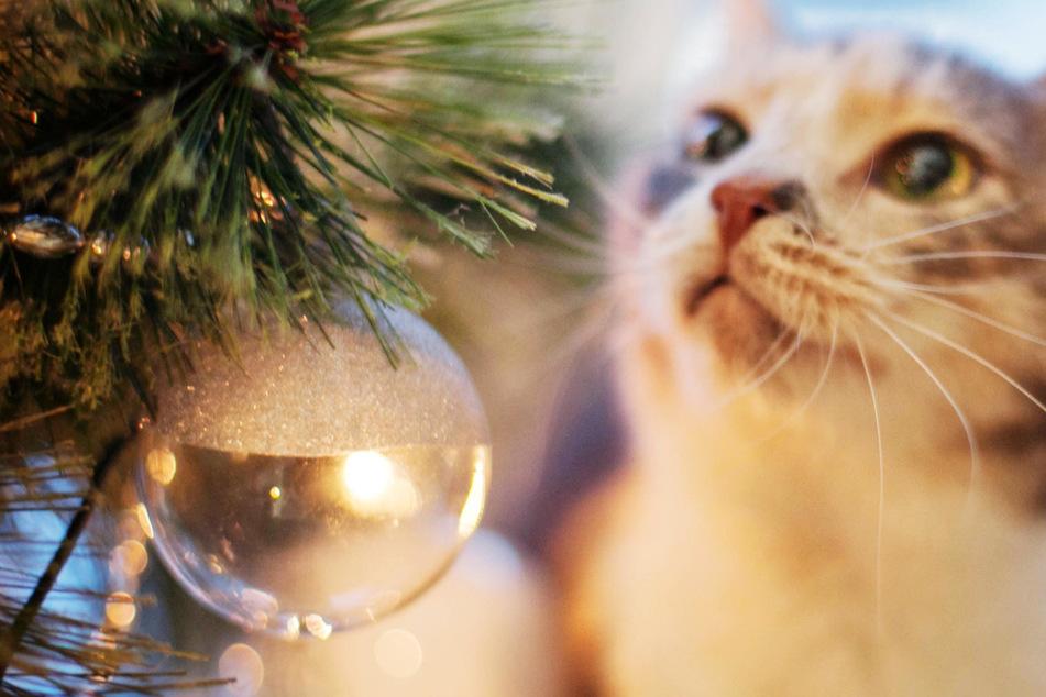 Weihnachtswunder: Vermisste Katze taucht nach sieben Jahren wieder auf