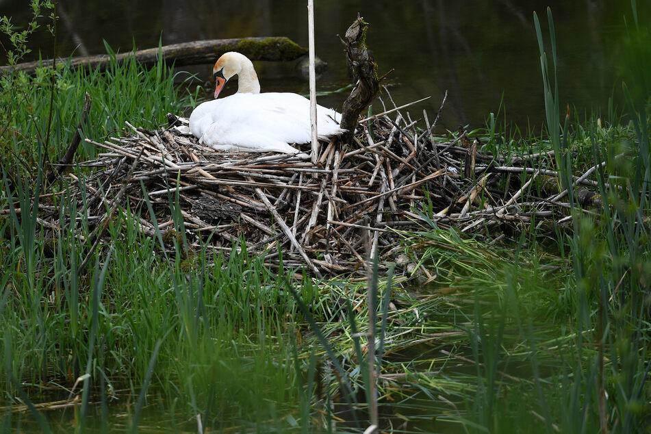 Täter haben in Staßfurt (Sachsen-Anhalt) das Nest eines Schwanen-Paares und die darin befindlichen Eier zerstört. (Symbolbild)