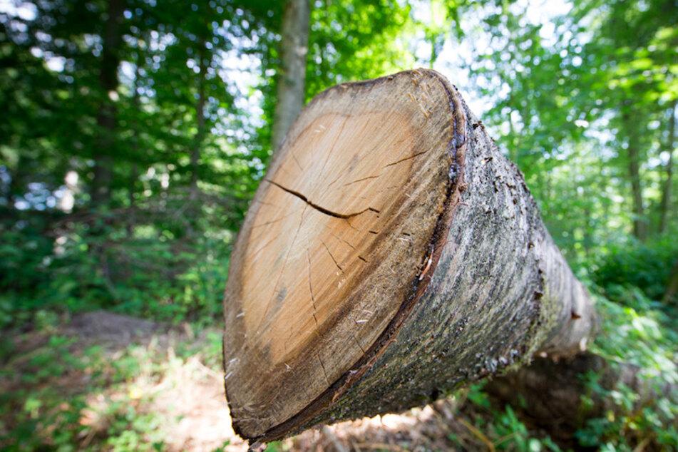 Waldarbeiter schwer verletzt: Rollender Baum wälzt Mann nieder