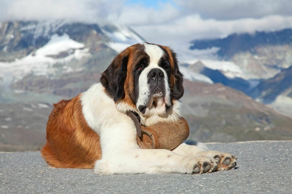 Barry the avalanche dog reportedly saved the lives of over 40 people in the Swiss Alps (stock image).