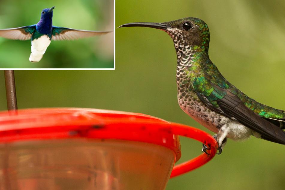 Bei den Jakobiner-Kolibris (Florisuga mellivora) scheinen sich einige Weibchen (r.) allmählich dem Aussehen der Männchen (l.) zu nähern.