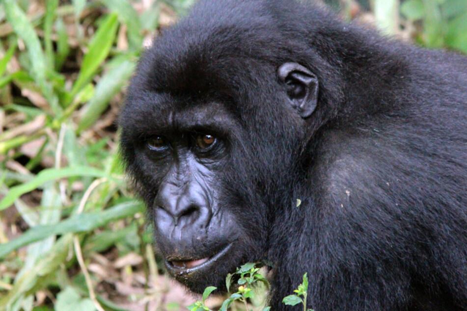 Tierschützer finden Leiche von seltenem Berggorilla: Darum hat Corona damit zu tun