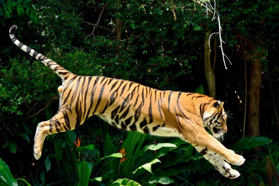 Die Wildtierart ist heute vom Aussterben bedroht.