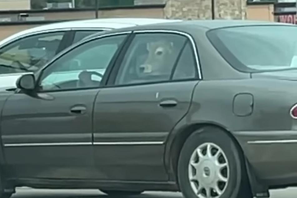 Kaum zu fassen: In diesem Auto saß doch tatsächlich eine Kuh und wartete auf ihre McDonald's-Bestellung!