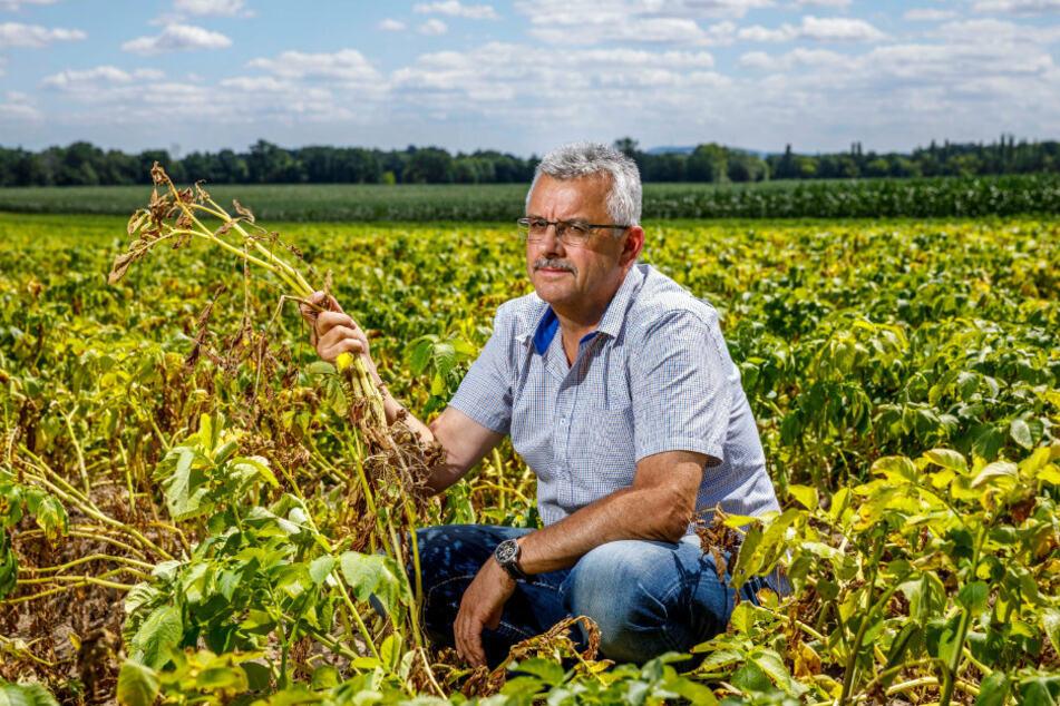 Udo Noack (59) kann seine Kartoffelernte vergessen: Das Kartoffelkraut ist gelb, die Knollen sind viel zu klein. Bewässern darf er nicht.