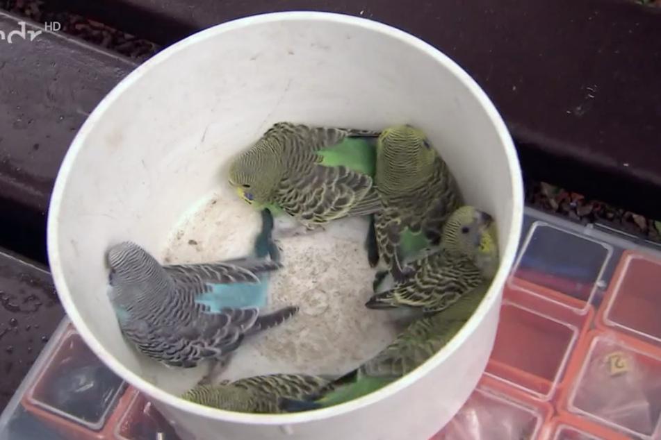 Huch, wer hat sich denn da unter die Grünen verirrt? Neben mehr als 20 Wellensittichen mit grünem Gefieder gibt es auch einen blauen Jungvogel.