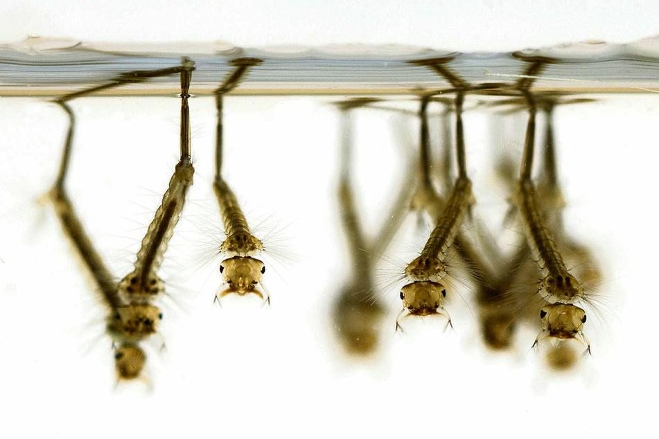 Derzeit findet man in Deutschland 52 Stechmücken-Arten.