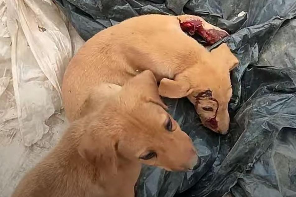 Große Unruhe: Mit einer blutigen Wunde und seinem Bruder an der Seite, wurde dieser Welpe gefunden.