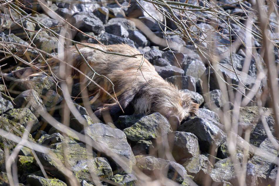 Totes Wildschwein am Elbufer gefunden: Experten geben Entwarnung