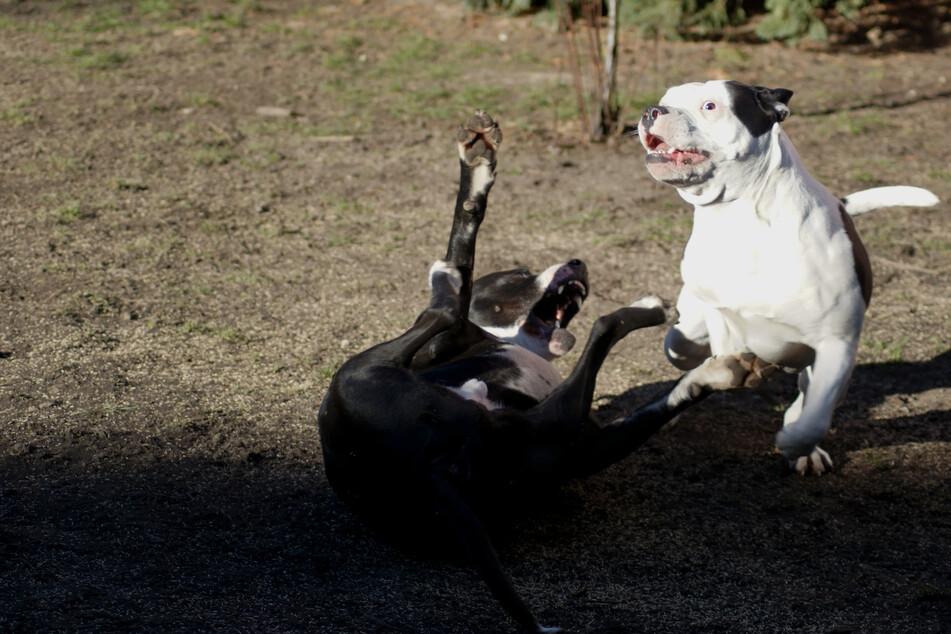 Die amerikanischen Bulldoggen gingen auf ihr Frauchen Elayne Stanley (44) los, als die sich mit ihrer Tochter zu streiten begann. (Symbolbild)