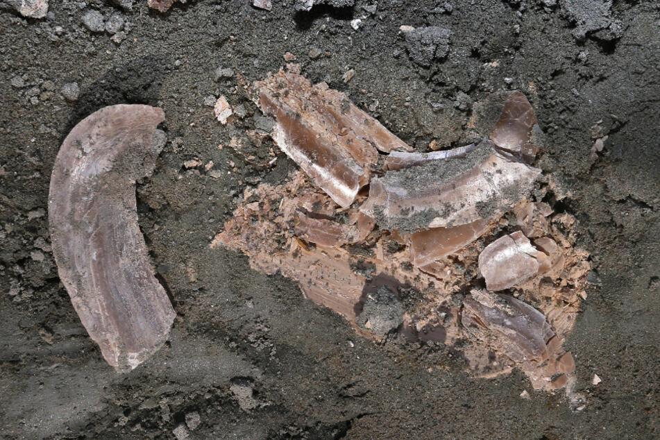 """Eine rund 11,4 Millionen Jahre alte Muschel liegt in der Tongrube """"Hammerschmiede"""" im Boden."""