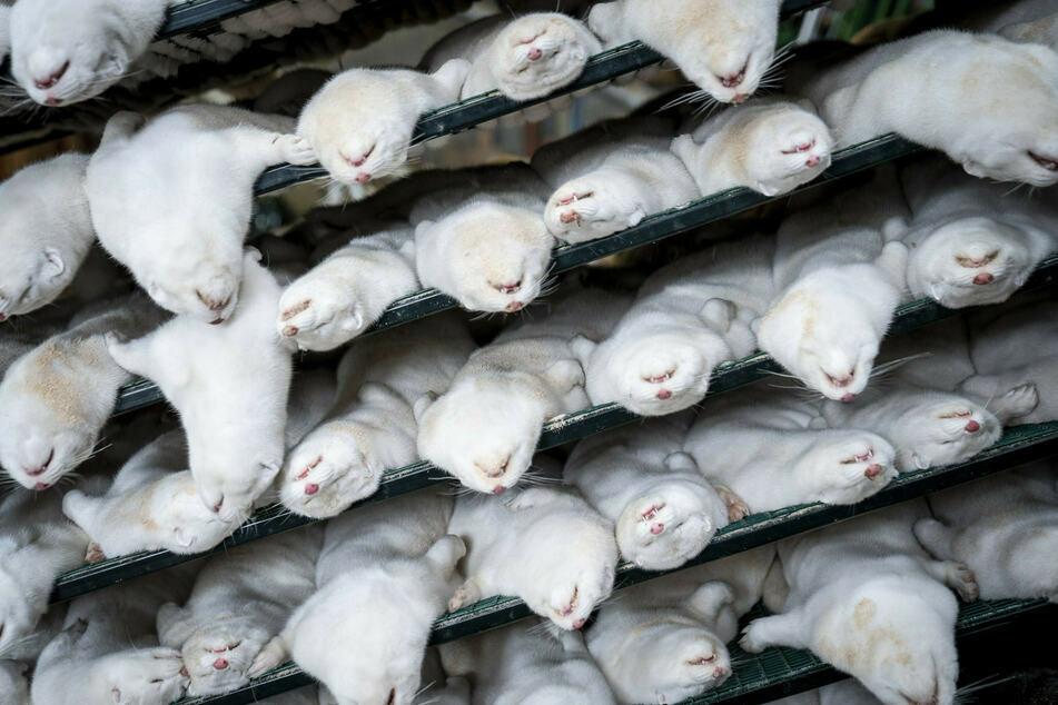 Tote Nerze liegen übereinander. Dänemark hatte Millionen der Tiere aufgrund einer mutierten Coronavirus-Variante getötet und vergraben.
