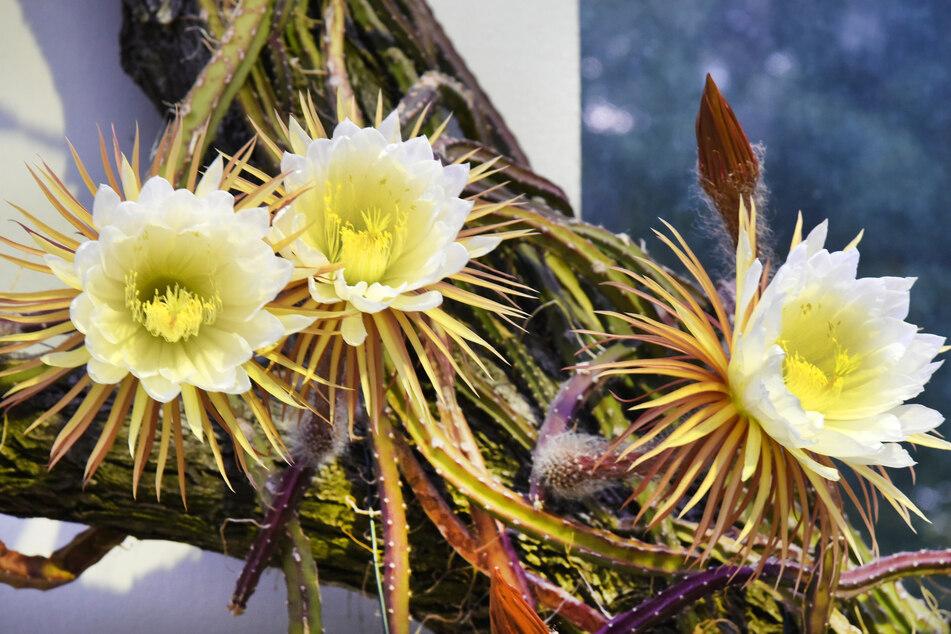 Am Freitag konnten Besucher des Botanischen Gartens die Blüte der Königin der Nacht bewundern.
