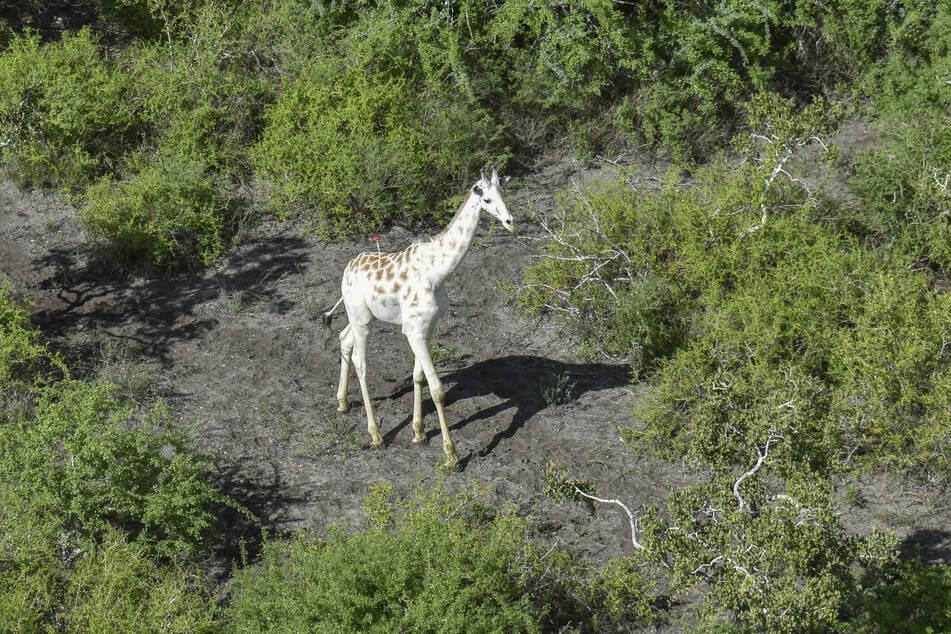 Die weltweit wohl einzige weiße, männliche Giraffe soll durch einen GPS-Sender vor Wilderern geschützt werden.