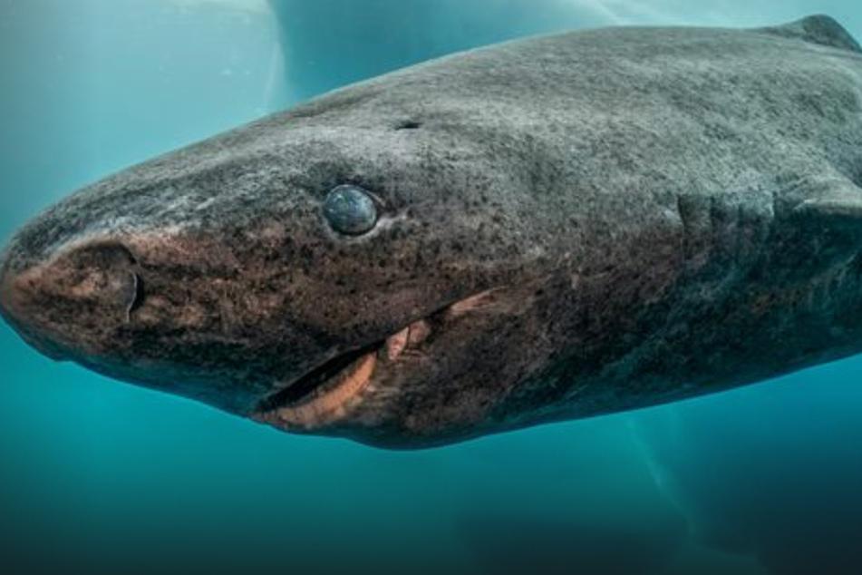 Unglaublich, aber wahr! Dieser lebende Hai ist 400 Jahre alt