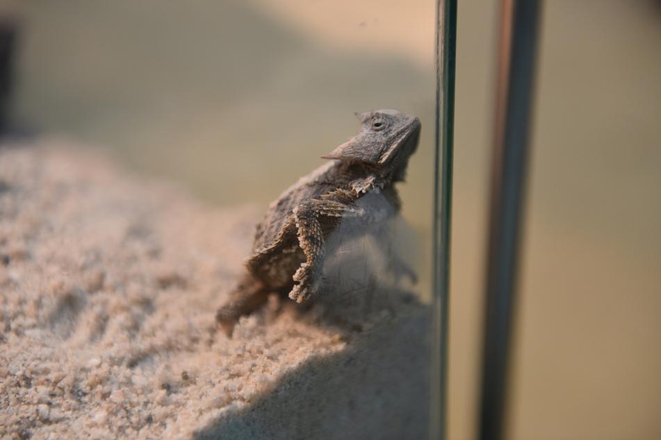 Die Krötenechse wurde mit vielen weiteren Tieren vom Zoll sichergestellt.