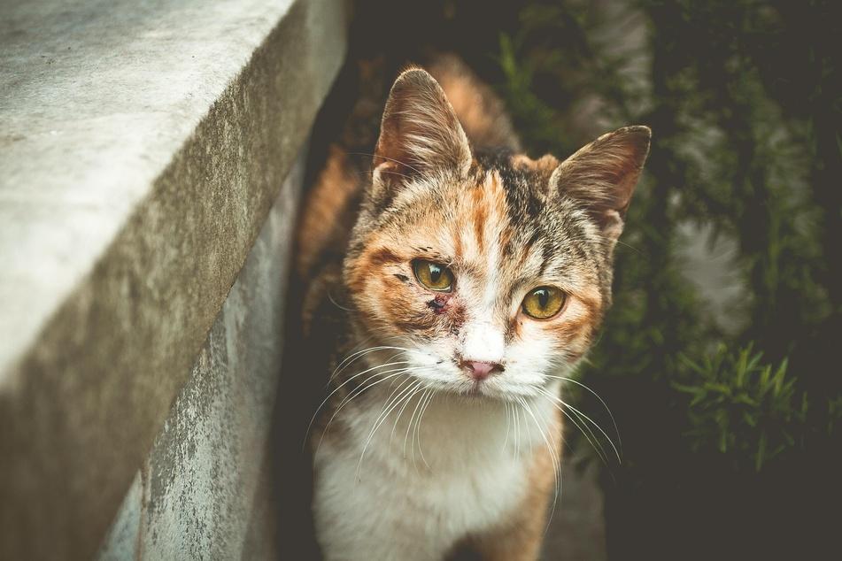 Schmerzen führen bei Katzen häufig zu aggressivem Verhalten.