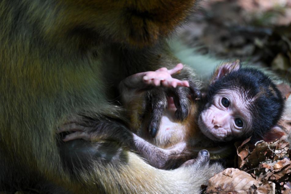 Wie süß! Es gibt Nachwuchs auf dem Affenberg