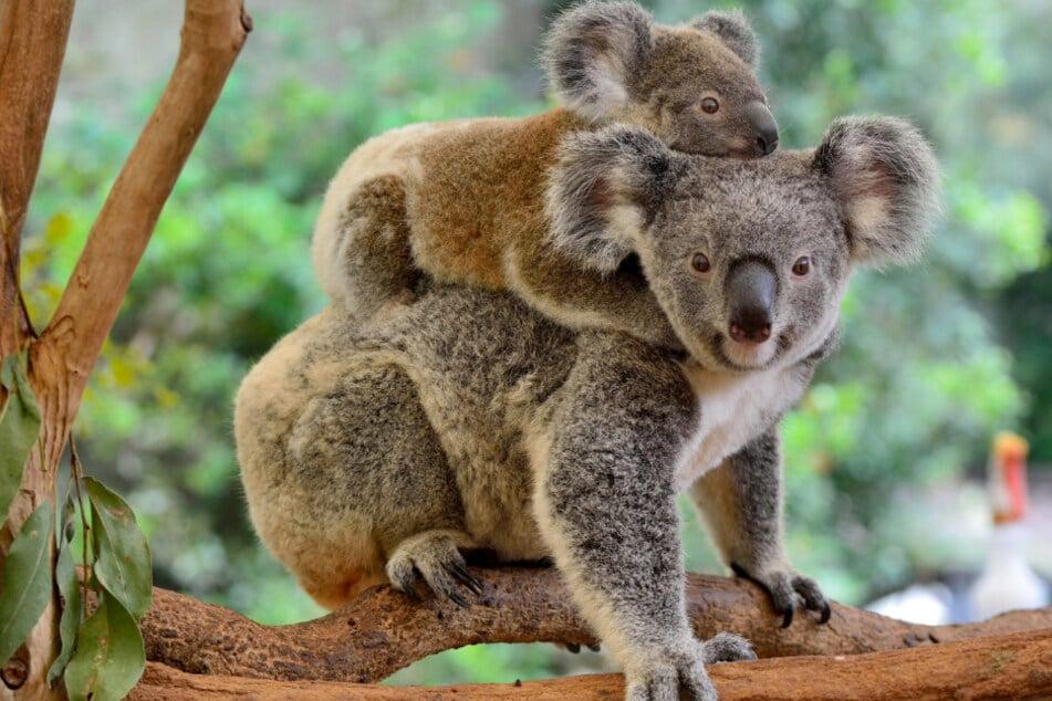 Koala-Habitat muss Steinbruch weichen: Tierschützer platzen vor Wut