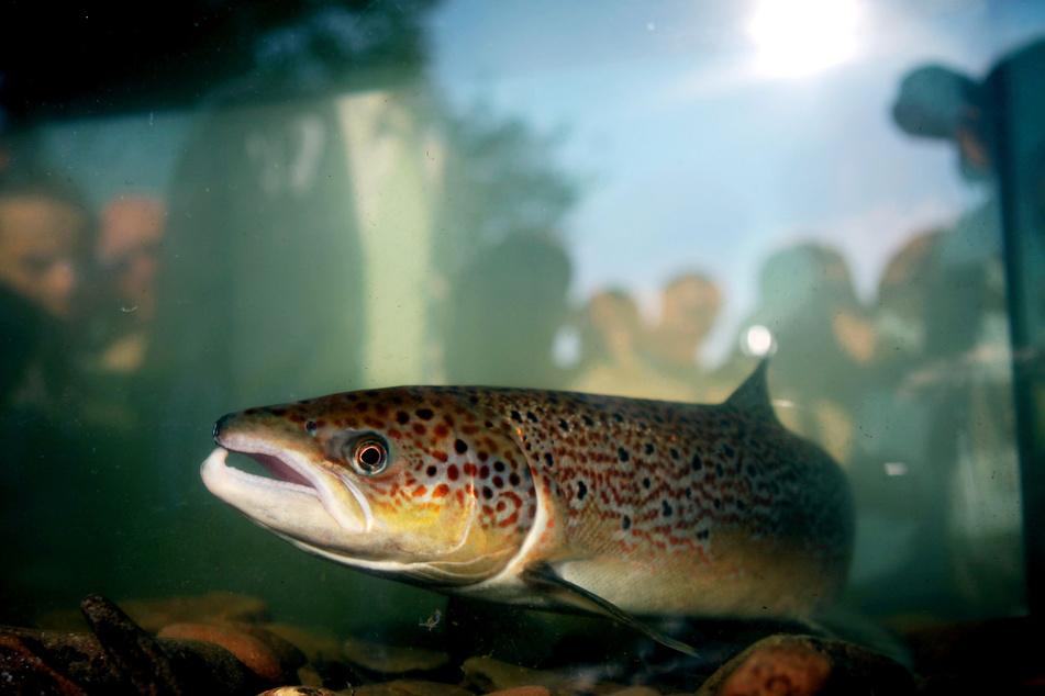 Probleme durch den Klimawandel: Spätsommerliches Niedrigwasser hindert die Wanderfische daran, ihre Laichgewässer in den Oberläufen zu erreichen.