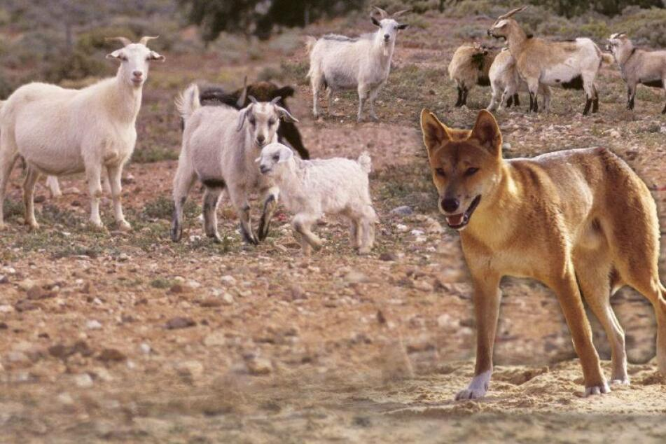 Hier werden Hunde auf Ziegen gehetzt