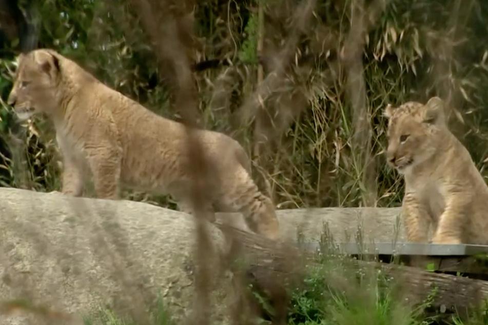 """""""Elefant, Tiger & Co."""": Die Löwenbabys entdecken die Welt"""