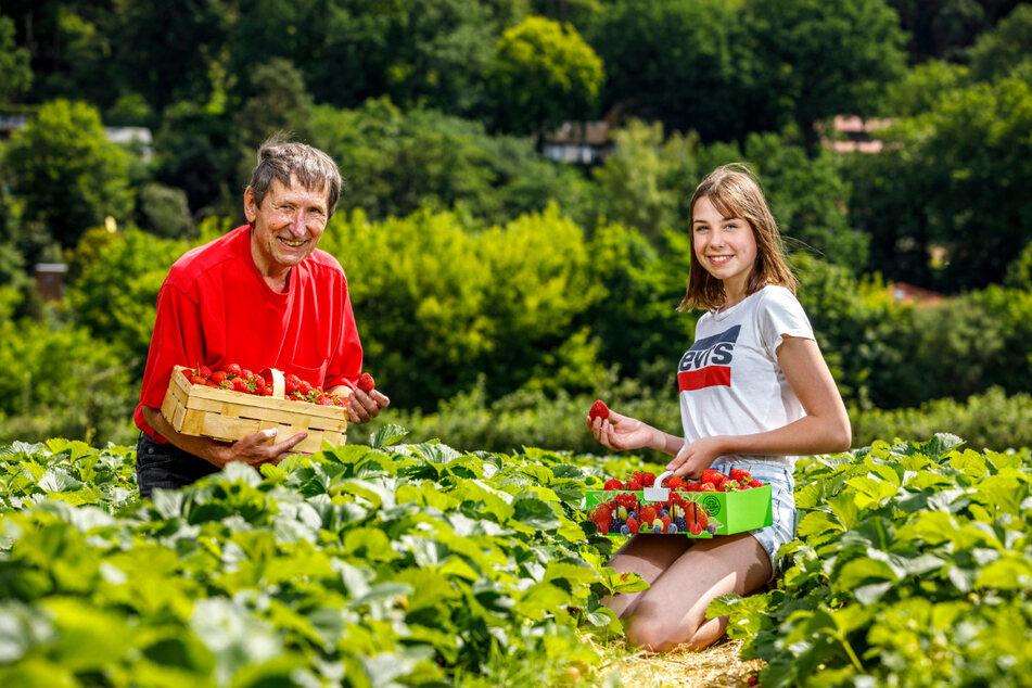 Liegen den süßen Früchten zu Füßen: Dr. Horst Feuer (82) und seine Enkelin Jara Jaeschke (14) pflücken in Hosterwitz fleißig Erdbeeren.