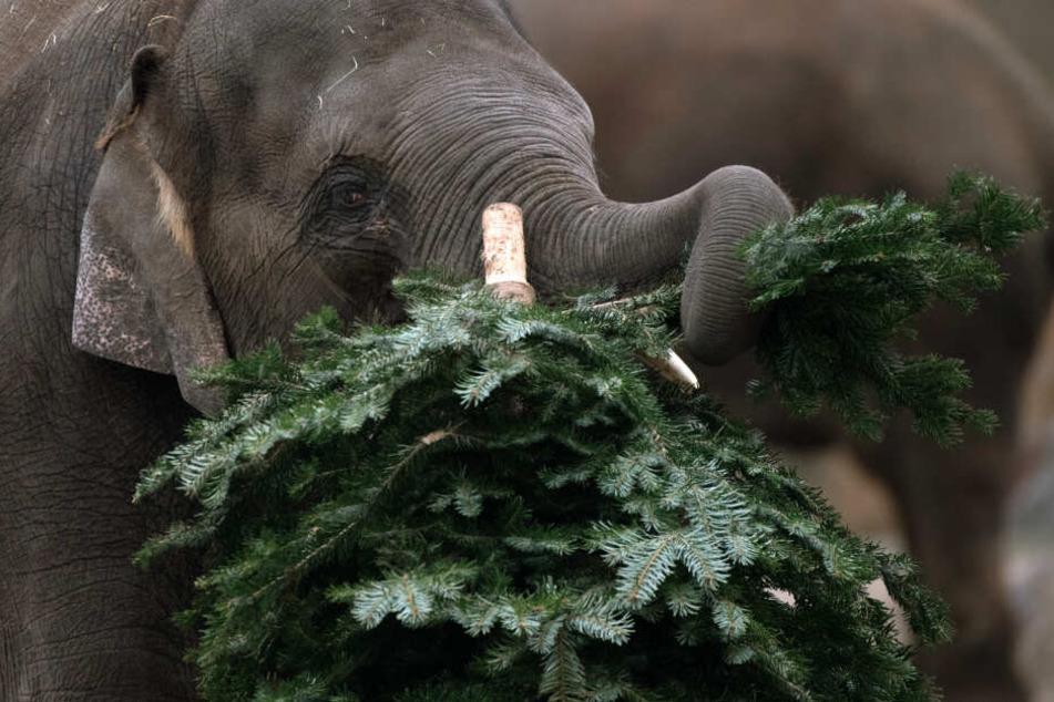 Nicht verkaufte Nadelbäume werden in deutschen Zoos auch gerne an die Elefanten verfüttert.