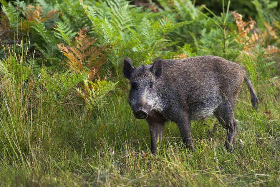 Ein Wildschwein wurde erschossen. (Symbolbild)