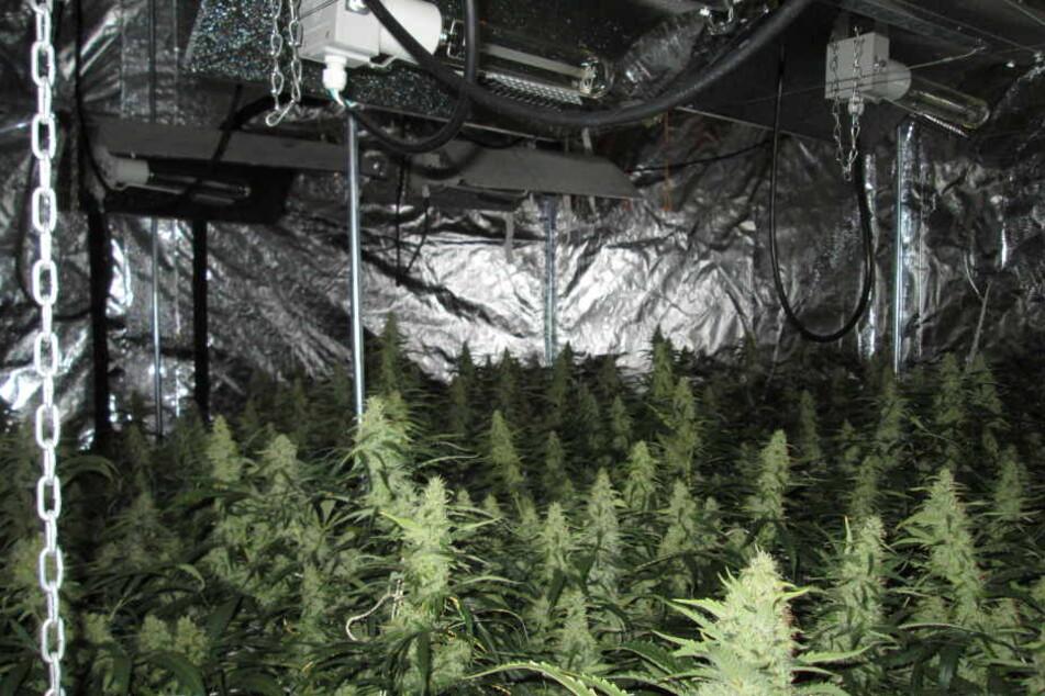 115 Cannabispflanzen stellten die Beamten sicher.