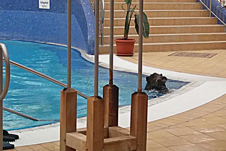 Hier schnappt das Wildschwein kräftig nach Luft im Becken.
