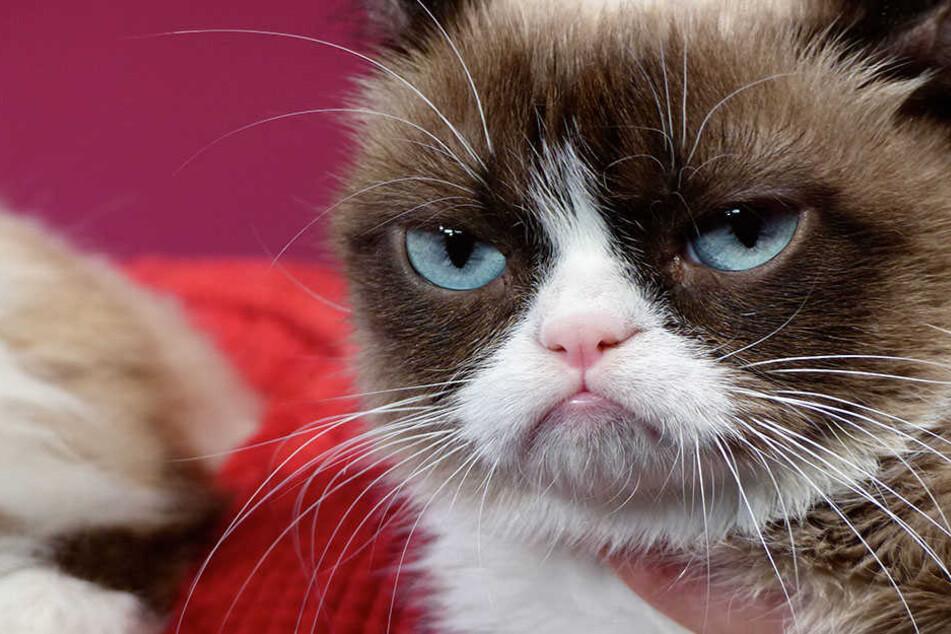 """Tardar Sauce, besser bekannt als """"Grumpy Cat"""" ist wohl die berühmteste Katze der Welt."""