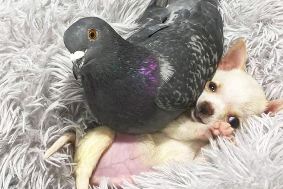 Hundewelpe kann nicht laufen, Taube nicht fliegen: Jetzt sind sie die besten Freunde!