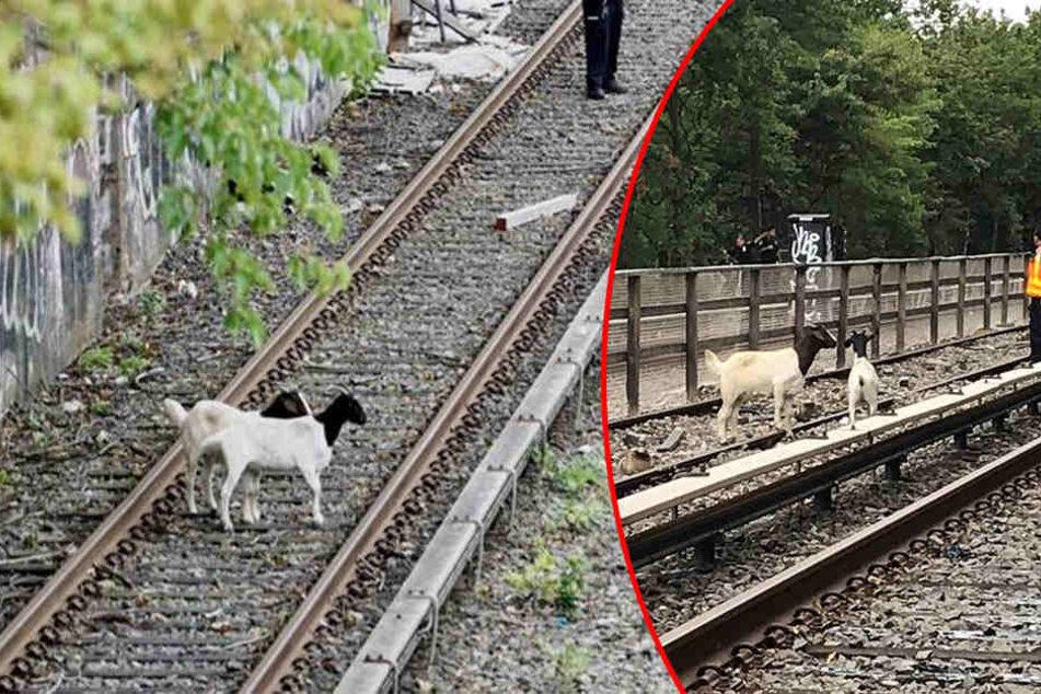 Hier legen zwei Ziegen den U-Bahn-Verkehr lahm