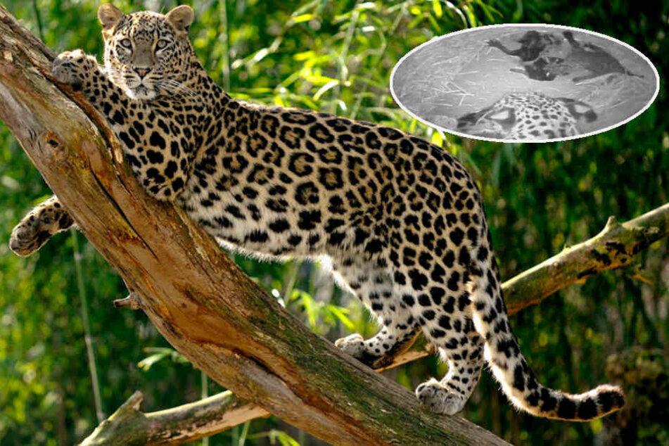 Vom Aussterben bedroht: Zwei Persische Leoparden im Kölner Zoo geboren
