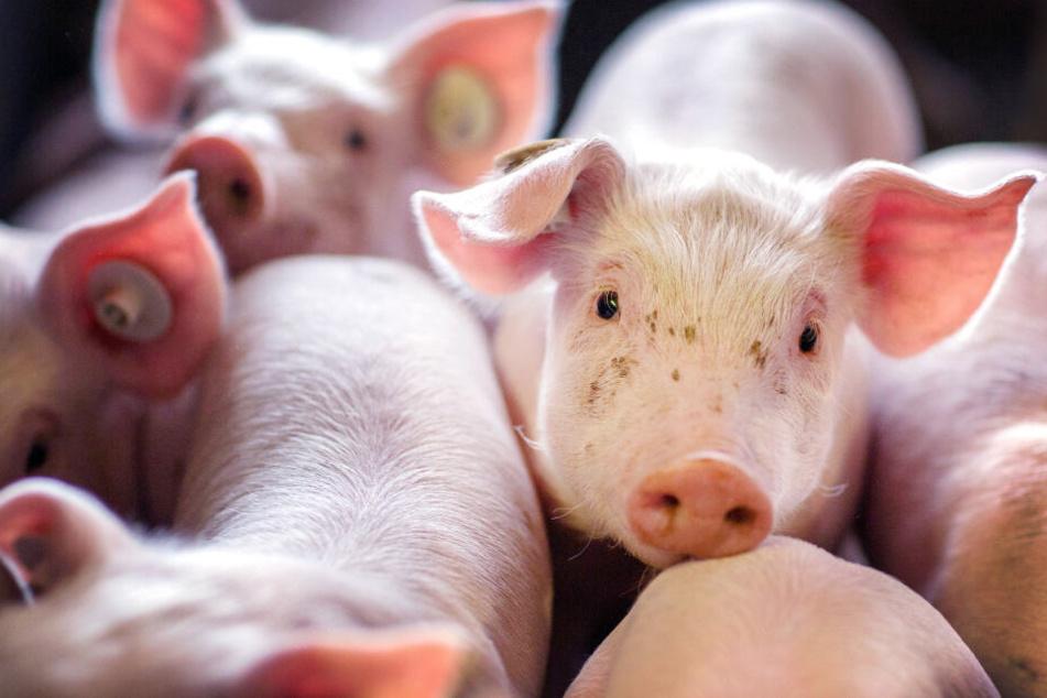 Schweine in einem Maststall.