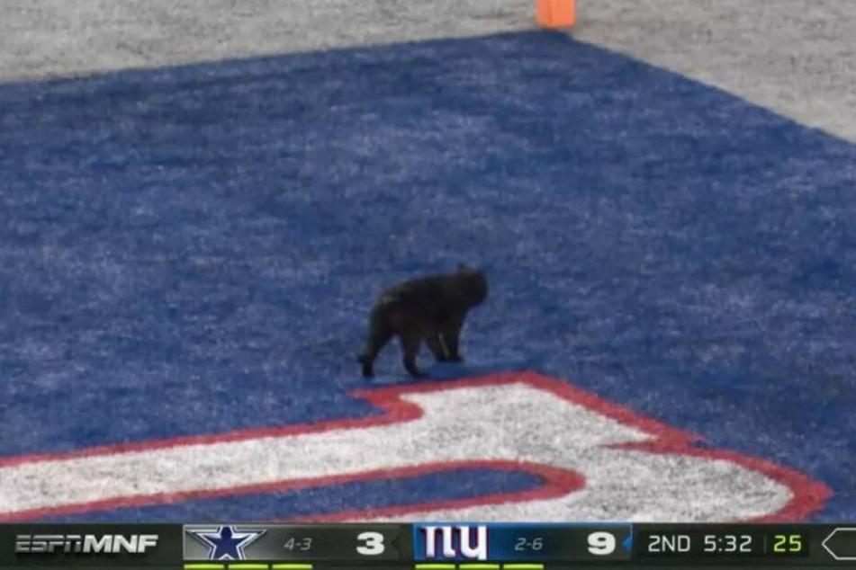 TOUCHDOWN! Die schwarze Katze schaffte es bis in die Endzone.