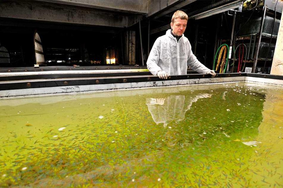 Peter Günnel (45) schaut besorgt auf seine Jungfische.